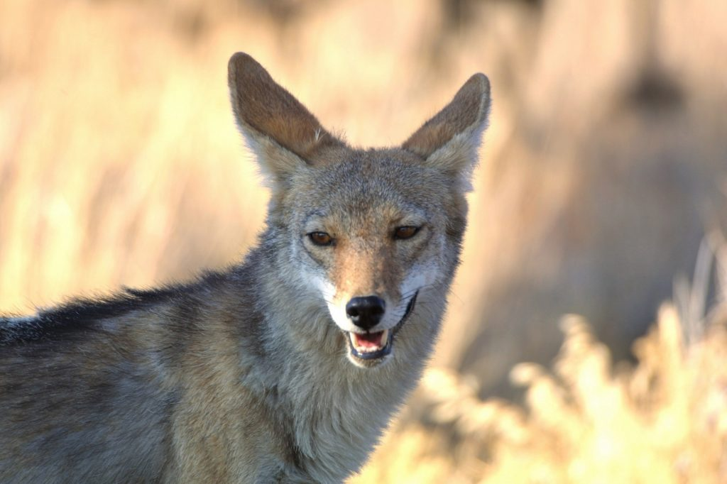 coyote safety tips for campers
